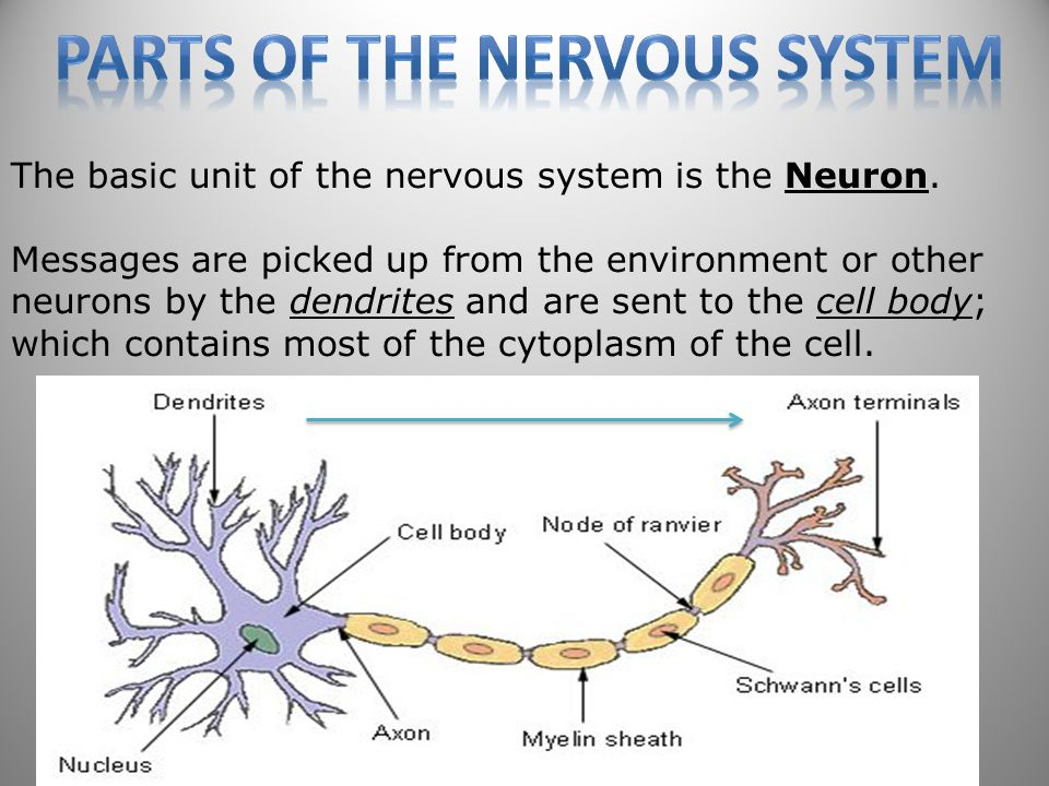 52 The basic unit of the nervous system is the Neuron.