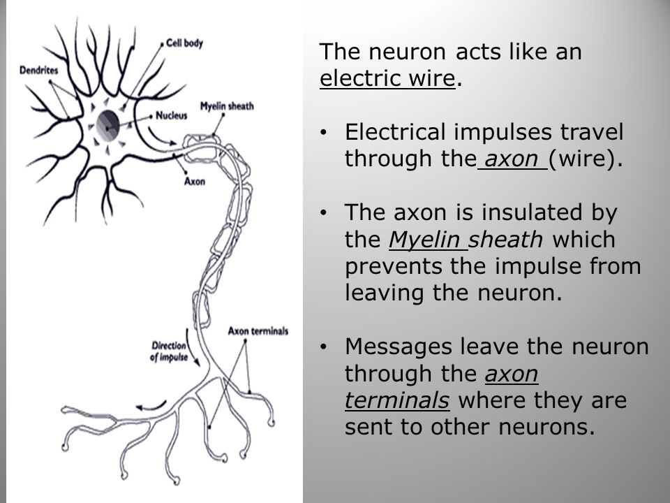 53 The neuron acts like an electric wire.Electrical impulses travel through the axon (wire).