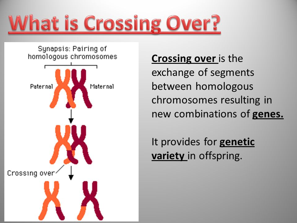 65 Crossing over is the exchange of segments between homologous chromosomes resulting in new combinations of genes.