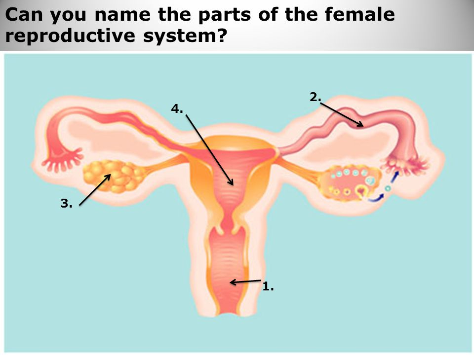 71 Can you name the parts of the female reproductive system? 1. 2. 3. 4.