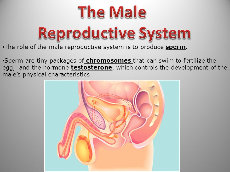 73 The role of the male reproductive system is to produce sperm.