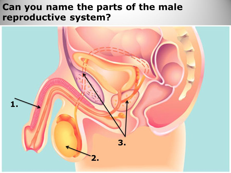 74 Can you name the parts of the male reproductive system? 1. 2. 3.