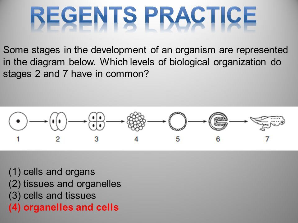 88 Some stages in the development of an organism are represented in the diagram below.