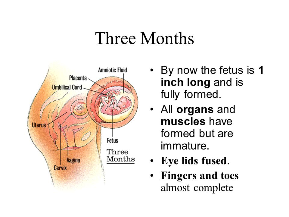 Three Months By now the fetus is 1 inch long and is fully formed. All organs and muscles have formed but are immature. Eye lids fused. Fingers and toe
