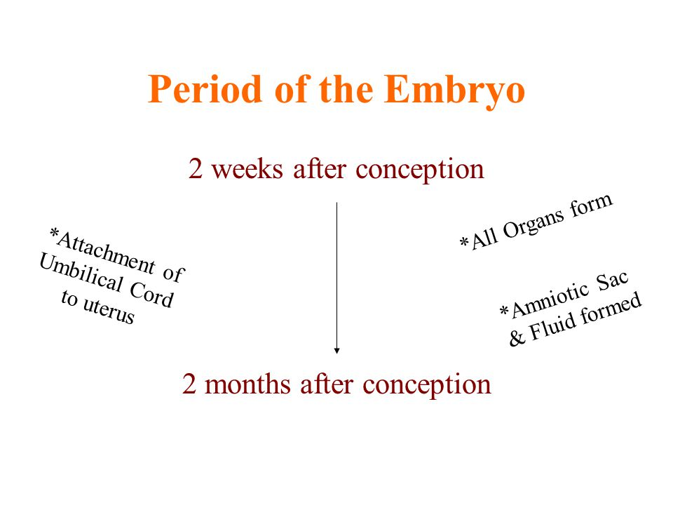 Period of the Embryo 2 weeks after conception 2 months after conception *Attachment of Umbilical Cord to uterus *All Organs form *Amniotic Sac & Fluid