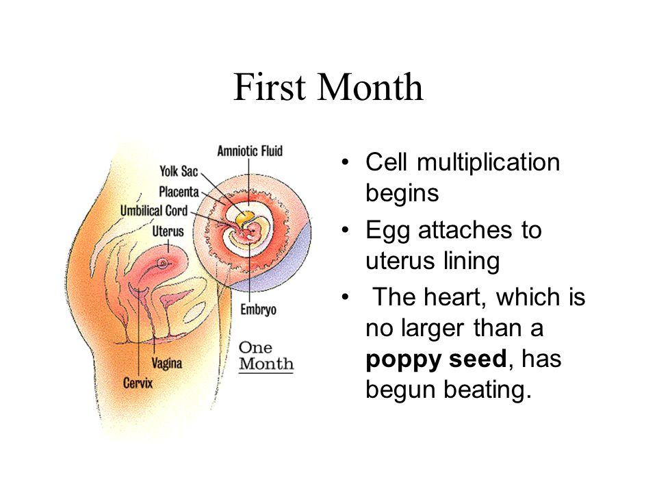 First Month Cell multiplication begins Egg attaches to uterus lining The heart, which is no larger than a poppy seed, has begun beating.