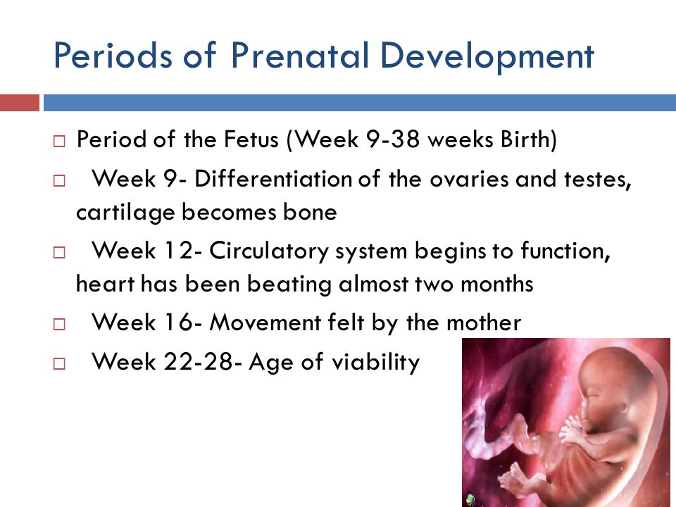 Periods of Prenatal Development  Period of the Fetus (Week 9-38 weeks Birth)  Week 9- Differentiation of the ovaries and testes, cartilage becomes b