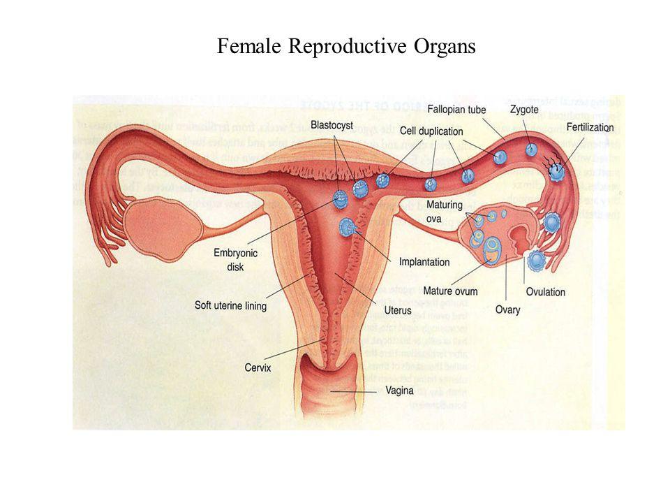 1 Human Fetal Development