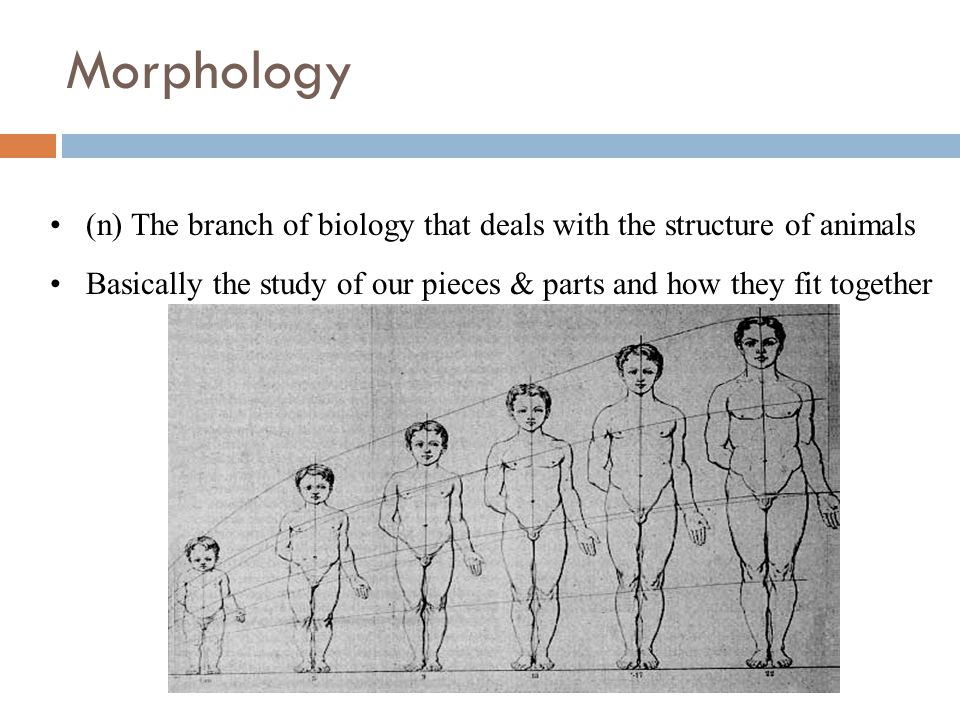 Morphology (n) The branch of biology that deals with the structure of animals Basically the study of our pieces & parts and how they fit together