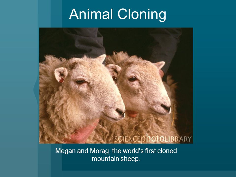 Animal Cloning Megan and Morag, the world's first cloned mountain sheep.