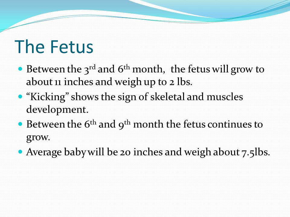 "The Fetus Between the 3 rd and 6 th month, the fetus will grow to about 11 inches and weigh up to 2 lbs. ""Kicking"" shows the sign of skeletal and musc"
