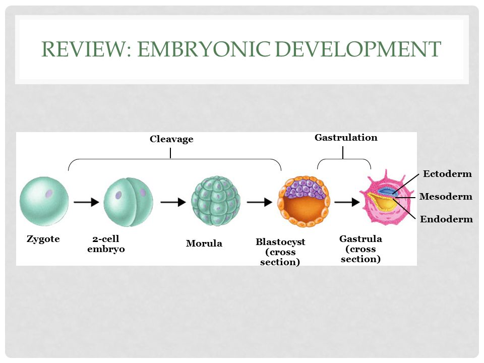 ORGANOGENESIS is the process by which the ectoderm, endoderm, and mesoderm develop into the internal organs of the organism. Internal organs start dev