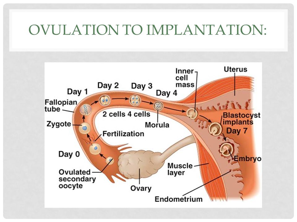FERTILIZATION: Sperm enters egg Resulting cell (egg + sperm) is called a zygote