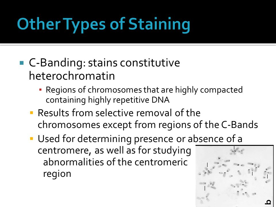  C-Banding: stains constitutive heterochromatin ▪ Regions of chromosomes that are highly compacted containing highly repetitive DNA  Results from se