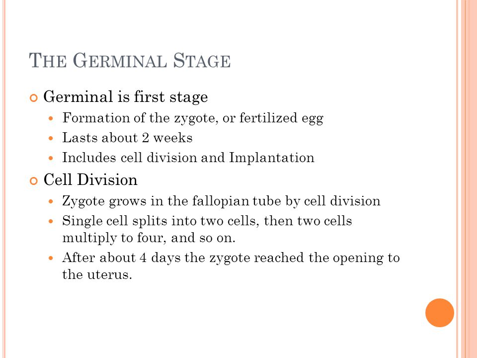 T HE G ERMINAL S TAGE Germinal is first stage Formation of the zygote, or fertilized egg Lasts about 2 weeks Includes cell division and Implantation C