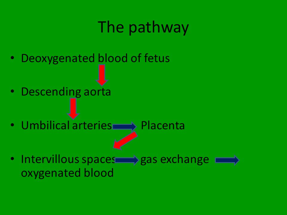 The pathway Deoxygenated blood of fetus Descending aorta Umbilical arteries Placenta Intervillous spaces - gas exchange oxygenated blood