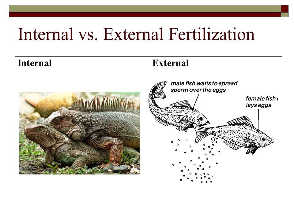 Internal vs. External Fertilization Internal External