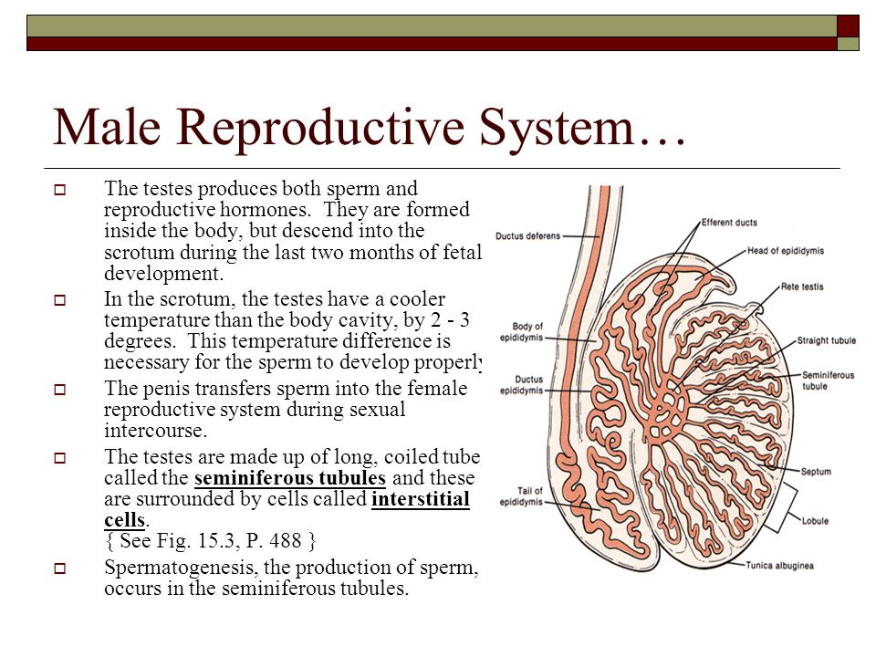 Male Reproductive System…  The testes produces both sperm and reproductive hormones. They are formed inside the body, but descend into the scrotum du