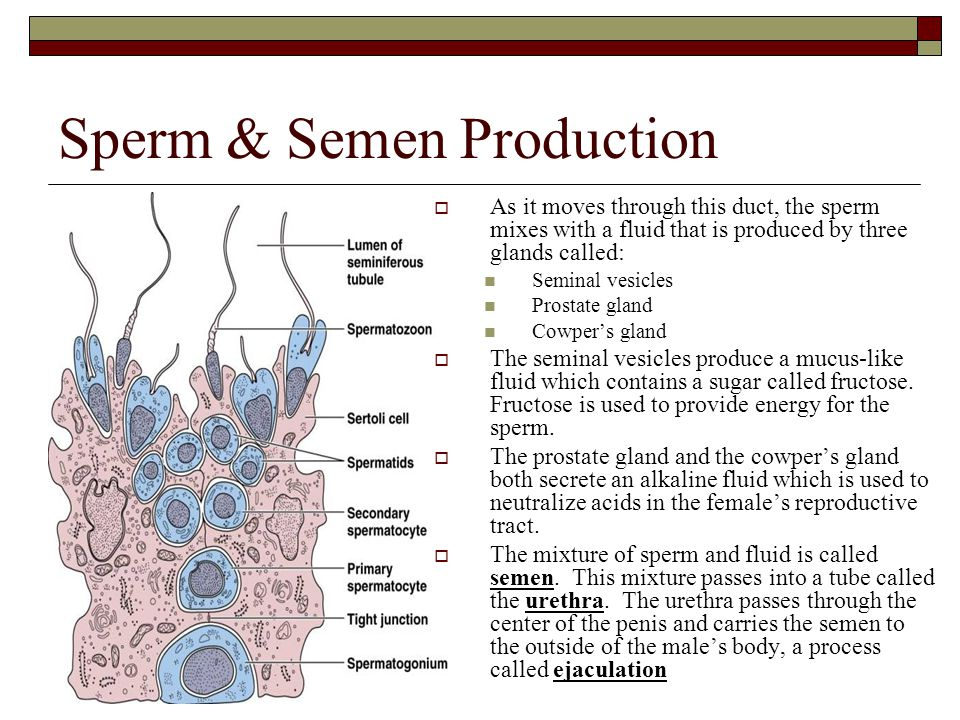Sperm & Semen Production  As it moves through this duct, the sperm mixes with a fluid that is produced by three glands called: Seminal vesicles Prost