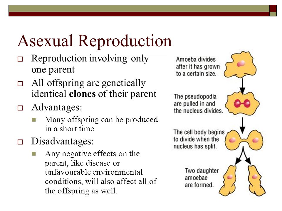 Asexual Reproduction  Reproduction involving only one parent  All offspring are genetically identical clones of their parent  Advantages: Many offs