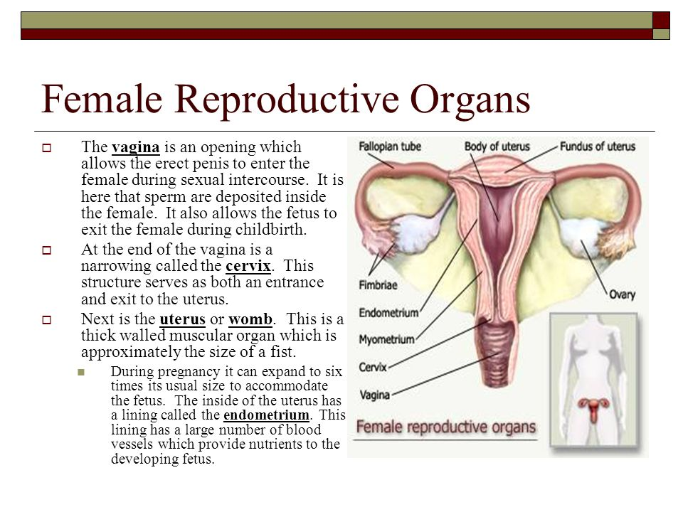 Female Reproductive Organs  The vagina is an opening which allows the erect penis to enter the female during sexual intercourse. It is here that sper