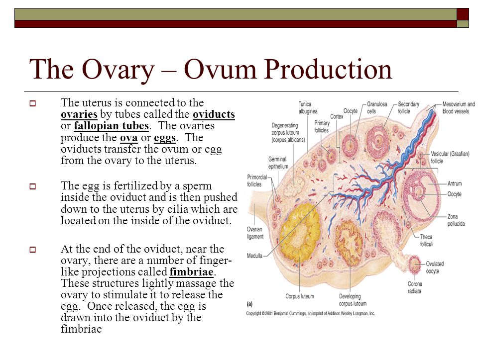 The Ovary – Ovum Production  The uterus is connected to the ovaries by tubes called the oviducts or fallopian tubes. The ovaries produce the ova or e