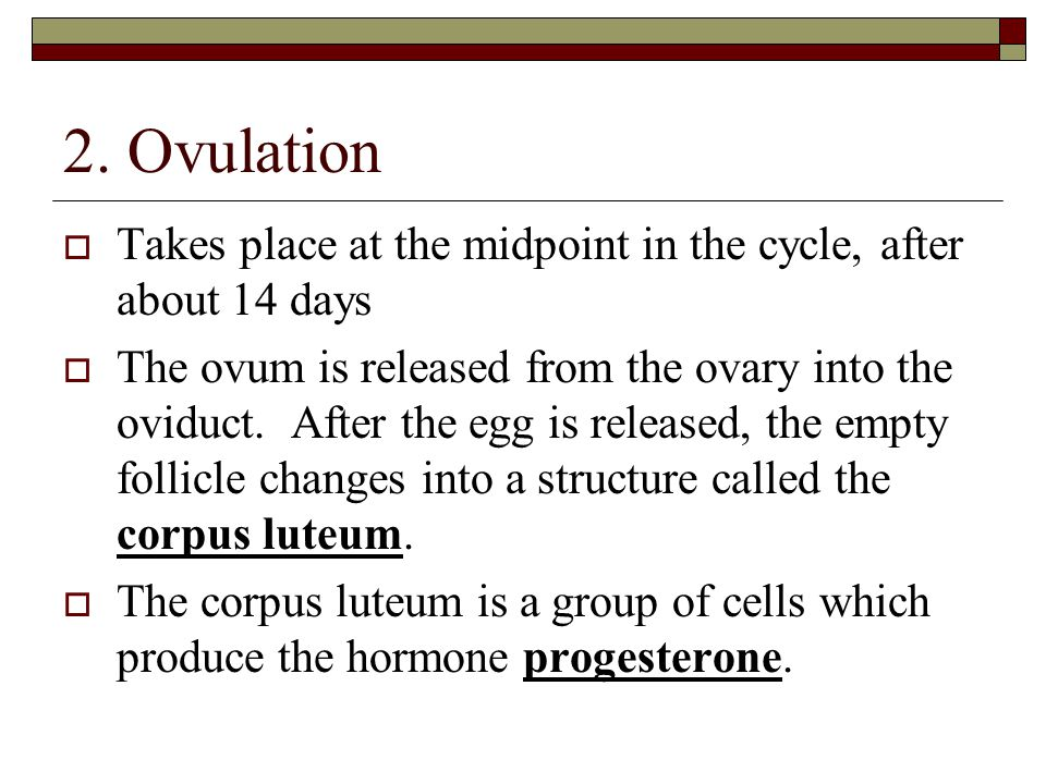 2. Ovulation  Takes place at the midpoint in the cycle, after about 14 days  The ovum is released from the ovary into the oviduct. After the egg is