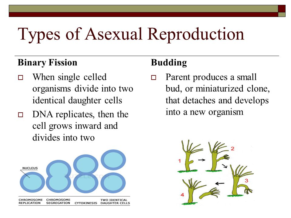 Types of Asexual Reproduction Parthenogenesis  Process by which unfertilized, haploid eggs mature into new organisms  Common in social insects where the queen produces male drones, while fertilized eggs become female workers and queens Spores  Spores are haploid cells that can develop into new organisms  Spores remain dormant until conditions are favourable  Common in fungi, algae, some moulds and non- flowering plants like ferns.
