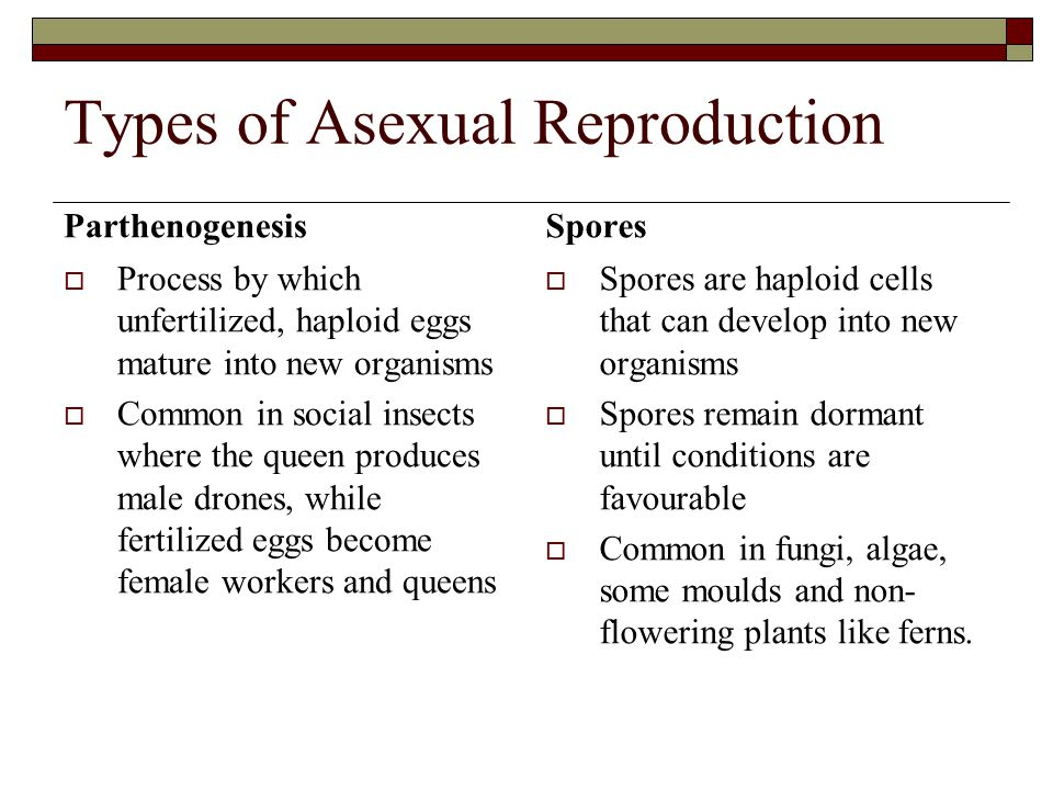 Types of Asexual Reproduction Vegetative Reproduction  Identical clones or offspring of plants are produced from the parent plant without seeds  Examples: Runners from strawberry or spider plants Cuttings from a plant placed in water will grow roots Rhizomes (underground runners) and bulbs produce new individuals Fragmentation  New organisms form from a piece of the existing parent organism  Example Piece of a starfish will grow into a new starfish