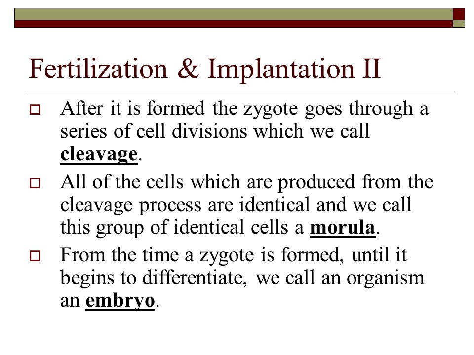Fertilization & Implantation II  After it is formed the zygote goes through a series of cell divisions which we call cleavage.  All of the cells whi