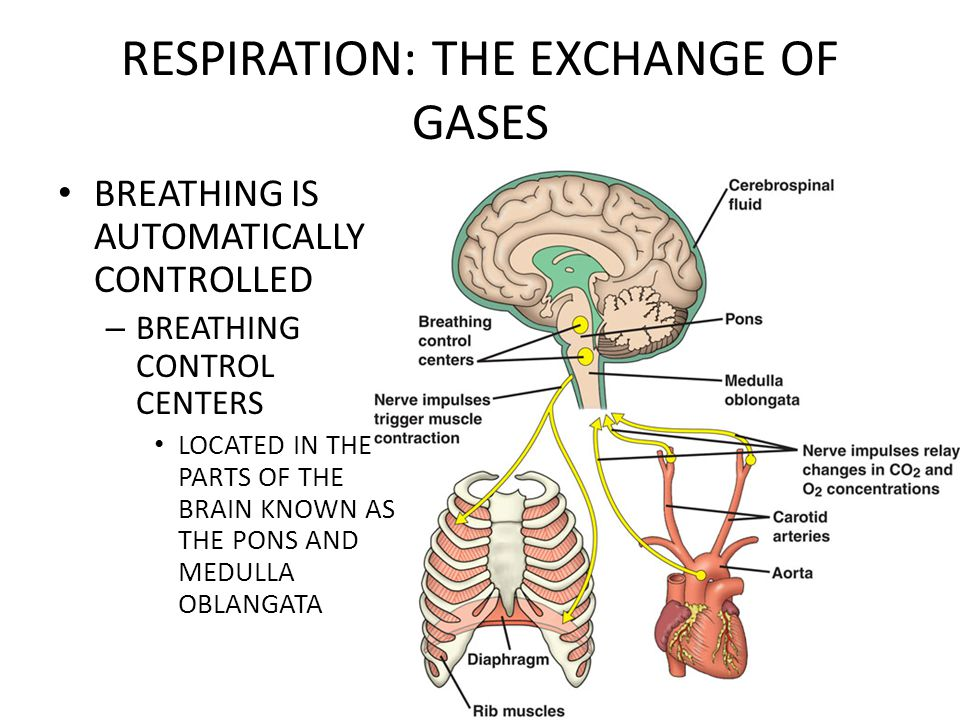 RESPIRATION: THE EXCHANGE OF GASES BREATHING IS AUTOMATICALLY CONTROLLED – BREATHING CONTROL CENTERS LOCATED IN THE PARTS OF THE BRAIN KNOWN AS THE PONS AND MEDULLA OBLANGATA