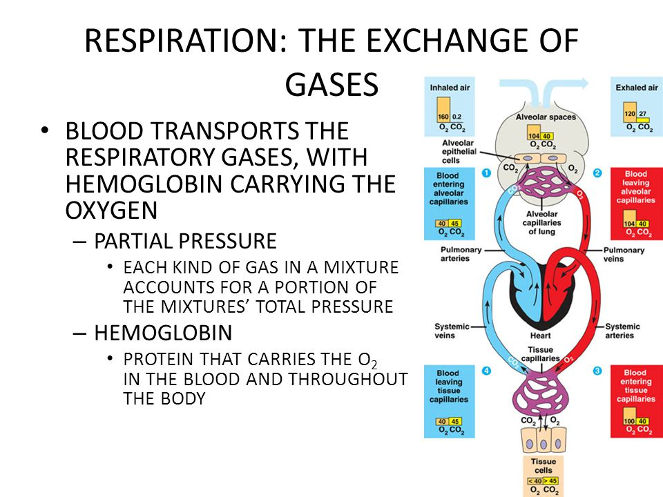 Respiration The Exchange Of Gases Overview Gas Exchange Involves