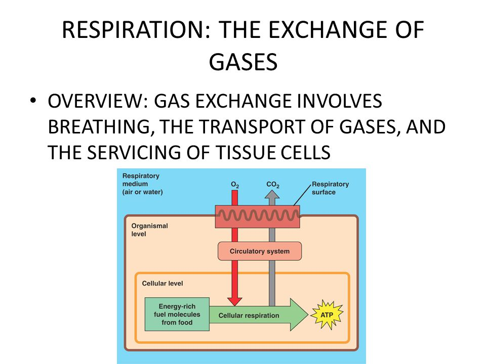 RESPIRATION: THE EXCHANGE OF GASES 3 PHASES OF GAS EXCHANGE – BREATHING – TRANSPORT – ABSORPTION/SECRETION