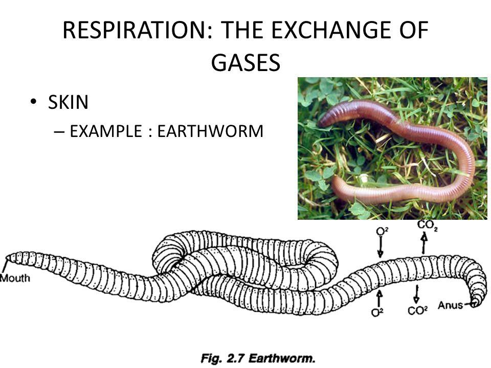 RESPIRATION: THE EXCHANGE OF GASES SKIN – EXAMPLE : EARTHWORM