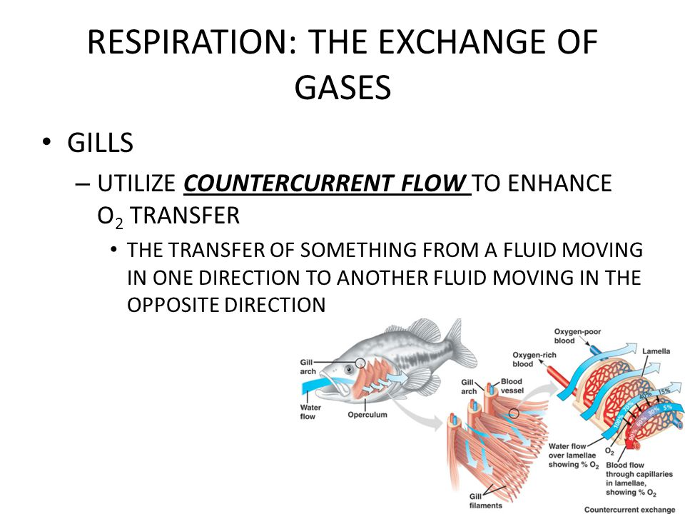 RESPIRATION: THE EXCHANGE OF GASES HEMOGLOBIN HELPS TRANSPORT CO 2 AND BUFFER THE BLOOD
