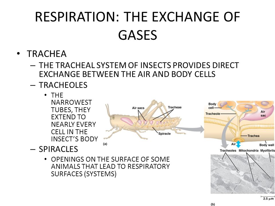 RESPIRATION: THE EXCHANGE OF GASES HEMOGLOBIN HELPS TRANSPORT CO 2 AND BUFFER THE BLOOD – HEMOGLOBIN HAS 3 FUNCTIONS CARRYING O 2 CARRYING CO 2 BUFFERING THE BLOOD – HELPING TO CONTROL THE PH