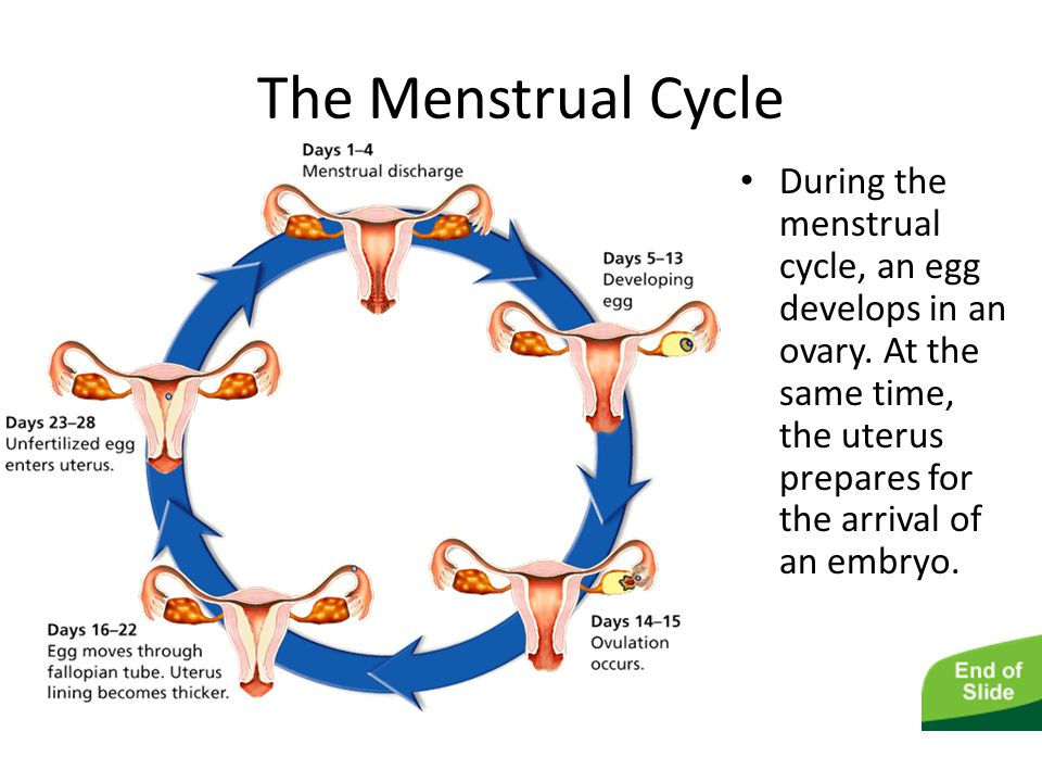 The Male and Female Reproductive Systems The Menstrual Cycle During the menstrual cycle, an egg develops in an ovary. At the same time, the uterus pre