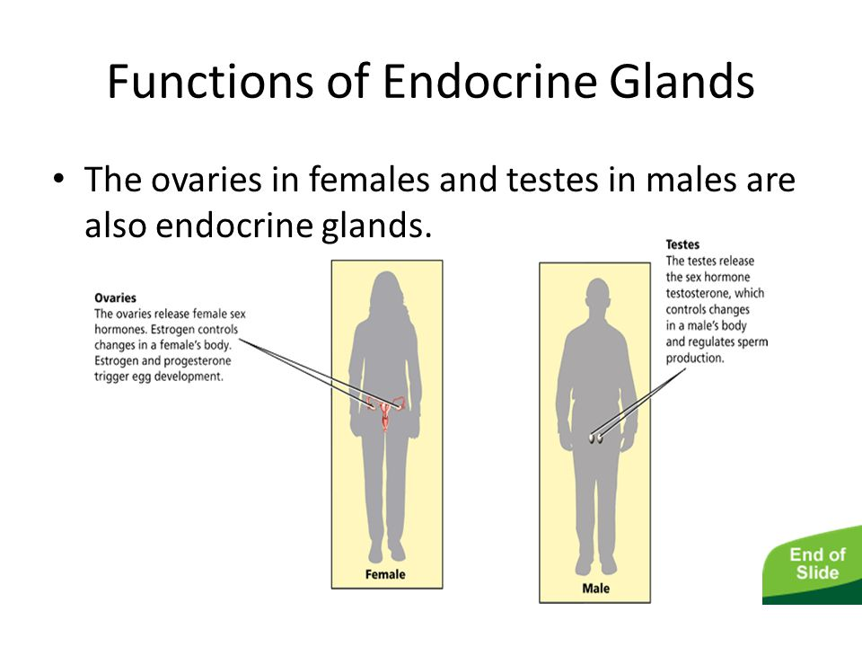 The Endocrine System Functions of Endocrine Glands The ovaries in females and testes in males are also endocrine glands.