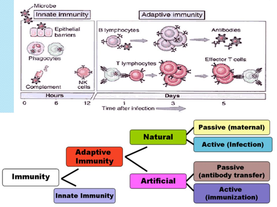 Acquired Immunity Introduction ◦ First visit: Immune System PreviewImmune System Preview ◦ Key cells: lymphocytes (WBCs) ◦ Activated by contact with microbes OR by cytokines (proteins secreted by macrophages) ◦ Recognizes antigens (foreign molecules)  Most are large proteins or polysaccharides  Often protrude from surface of microbe  Epitope: region of antigen to which lymphocyte attaches