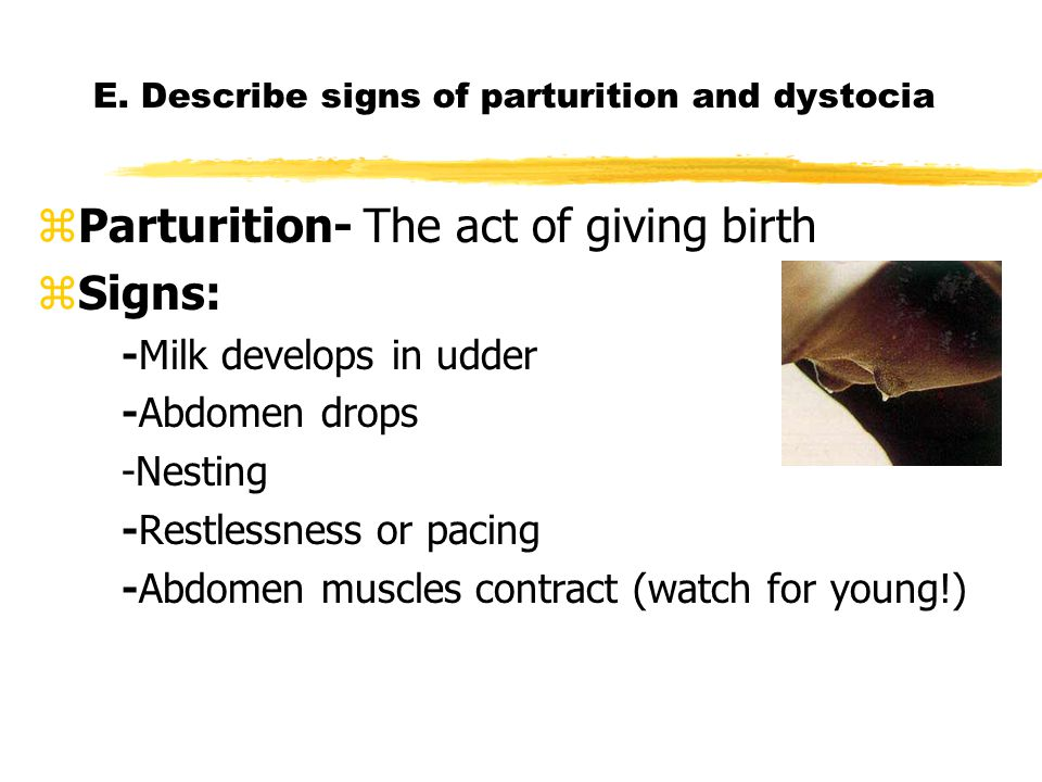 E. Describe signs of parturition and dystocia zParturition- The act of giving birth zSigns: -Milk develops in udder -Abdomen drops -Nesting -Restlessn