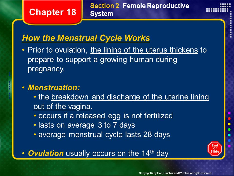 How the Menstrual Cycle Works Prior to ovulation, the lining of the uterus thickens to prepare to support a growing human during pregnancy. Menstruati