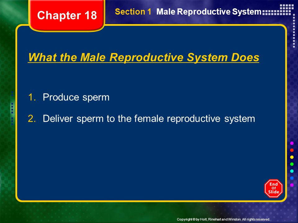 Copyright © by Holt, Rinehart and Winston. All rights reserved. Section 1 Male Reproductive System What the Male Reproductive System Does 1.Produce sp
