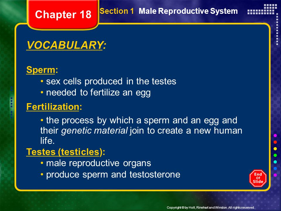 Copyright © by Holt, Rinehart and Winston. All rights reserved. Section 1 Male Reproductive System VOCABULARY: Sperm: sex cells produced in the testes