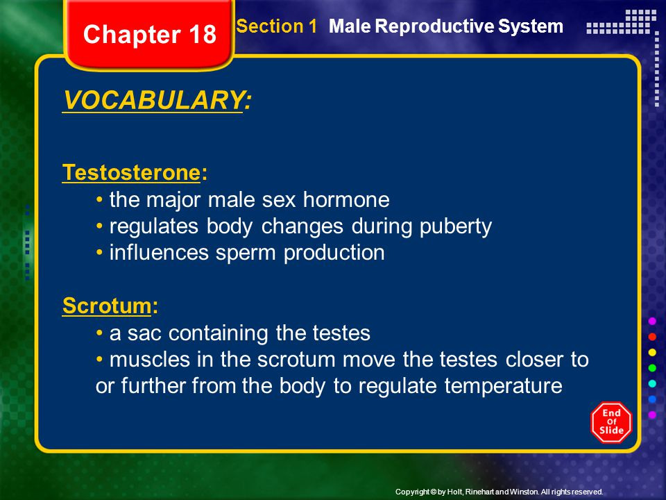 Copyright © by Holt, Rinehart and Winston. All rights reserved. VOCABULARY: Testosterone: the major male sex hormone regulates body changes during pub