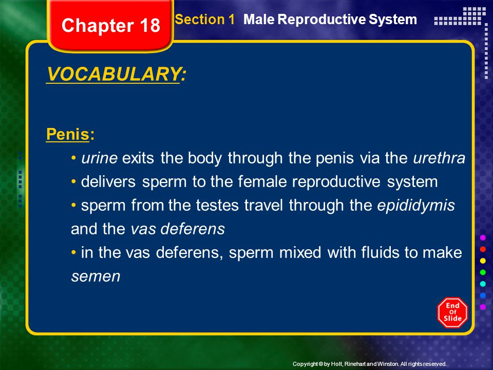 Copyright © by Holt, Rinehart and Winston. All rights reserved. VOCABULARY: Penis: urine exits the body through the penis via the urethra delivers spe
