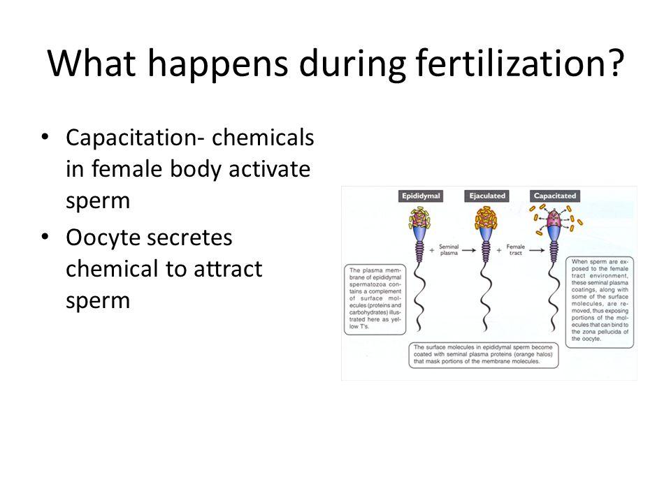 What happens during fertilization.