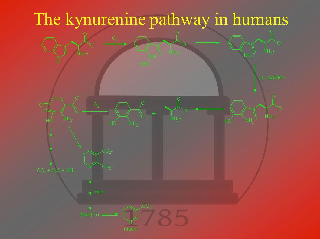 The kynurenine pathway in humans NH 3 + O N H O O 2 NH 3 + O NH O O OHC NH 3 + O NH 2 O O O 2, NADPH NH 3 + O NH 2 O O OH NH 3 + O O NH 2 O OH O O 2 N CO 2 - CO 2 - NAD(P)+ NH 2 O OH O O O CO 2 + H 2 O + NH 3 N CO 2 - + liver niacin