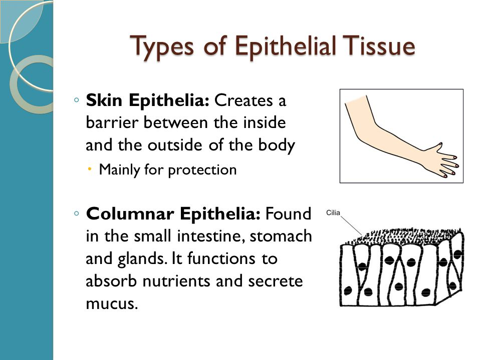 Types of Epithelial Tissue ◦ Skin Epithelia: Creates a barrier between the inside and the outside of the body  Mainly for protection ◦ Columnar Epithelia: Found in the small intestine, stomach and glands.