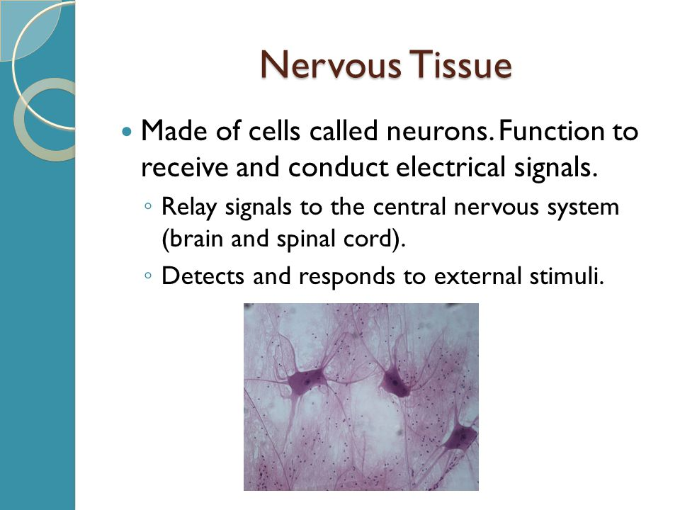 Nervous Tissue Made of cells called neurons.Function to receive and conduct electrical signals.