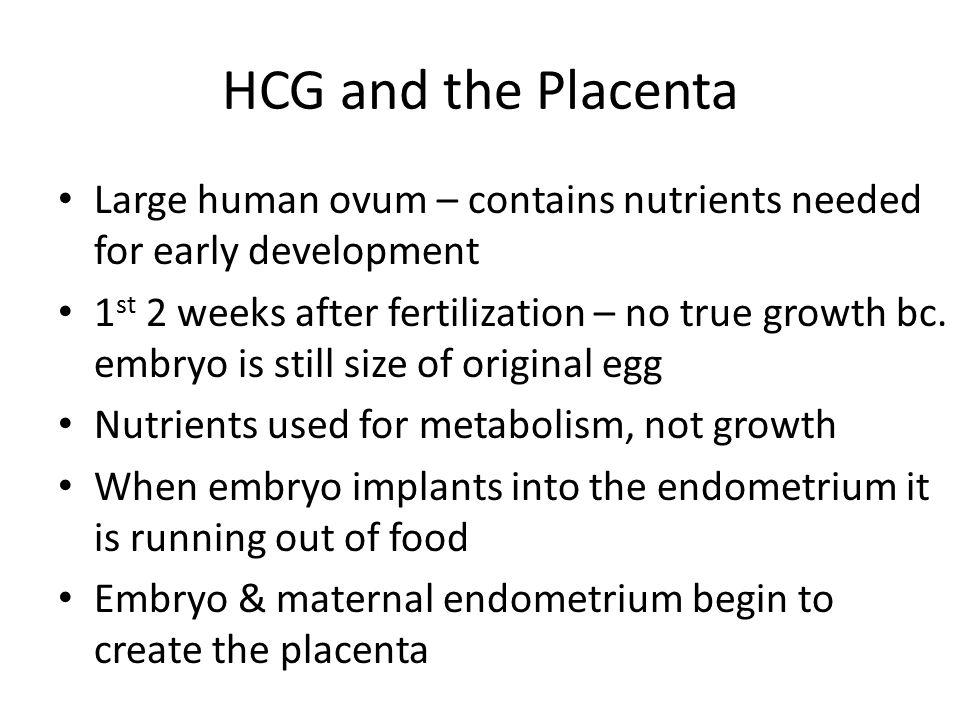HCG and the Placenta Large human ovum – contains nutrients needed for early development 1 st 2 weeks after fertilization – no true growth bc. embryo i